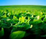 stock-photo-20912237-robust-soy-bean-crop-basking-in-the-sunlight1